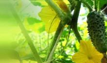 Рейтинг лучших сортов огурцов для посадки на даче: топ-12 популярных культур для богатого урожая