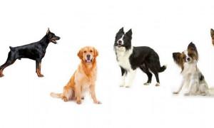 Список самых умных пород собак и рейтинг на 2020 год