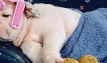 ⭐️Рейтинг самых ленивых пород собак для неспешных и занятых хозяев