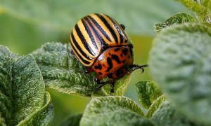 Топ-10 лучших средств от колорадского жука в рейтинге 2020 года