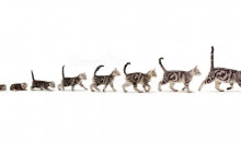 Рейтинг самых дорогих и экзотических пород кошек