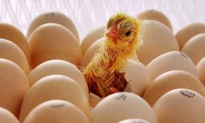 Цыплят из яиц выводят дома и на крупных предприятиях: рейтинг лучших инкубаторов для яиц в 2020 году, составленный экспертами Zuzako