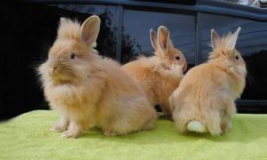Красота от ушей до хвоста: рейтинг самых маленьких карликовых кроликов домашних пород