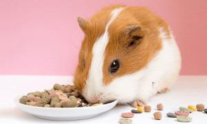 Грызуны тоже любят вкусно поесть: рейтинг лучших кормов для морских свинок 2021 года