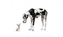 Рейтинг самых больших пород собак в мире