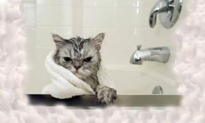 Ваша кошка всегда будет чистой: рейтинг лучших шампуней 2020 года