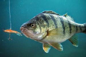 Рейтинг лучших блёсен на окуня для профессиональных спортсменов и любителей рыбалки