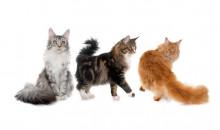 Рейтинг самых больших в мире пород домашних кошек