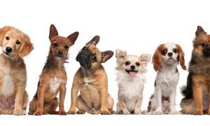 Лучшие породы собак для заведения в квартире – рейтинг 2020 года