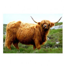 Хайлендская корова