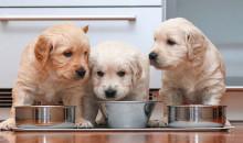 Чем кормить четвероногого кроху: рейтинг лучших кормов для щенков 2021 года